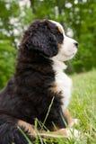 Het leuke puppy van de Berg Bernese Royalty-vrije Stock Afbeeldingen