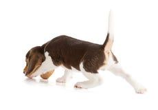 Het leuke Puppy van de Brak Stock Foto