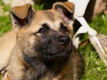 Het leuke puppy van de Duitse herder Stock Afbeelding