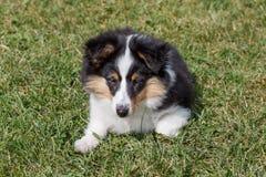Het leuke puppy van de herdershond van Shetland ligt in het groene gras Oud van drie maanden royalty-vrije stock foto's