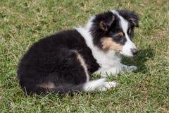 Het leuke puppy van de herdershond van Shetland ligt in het groene gras Oud van drie maanden stock afbeeldingen