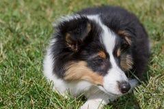 Het leuke puppy van de herdershond van Shetland ligt in het groene gras Sluit omhoog Oud van drie maanden stock fotografie