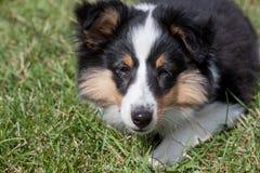 Het leuke puppy van de herdershond van Shetland ligt in het groene gras Sluit omhoog Oud van drie maanden royalty-vrije stock afbeelding