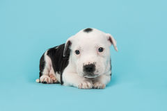 Het leuke puppy van de staffordterriër op een blauwe achtergrond Royalty-vrije Stock Afbeelding