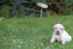 Het leuke puppy van Labrador Royalty-vrije Stock Afbeeldingen