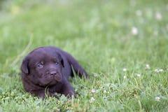 Het leuke puppy van Labrador Stock Afbeelding