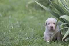 Het leuke puppy van Labrador Royalty-vrije Stock Foto's