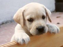 Het leuke Puppy van Labrador Stock Fotografie