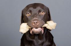 Het leuke Puppy van Labrador met Ongelooide huid die in zijn Mond wordt gedaan Stock Foto's