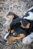 Het leuke puppy van Rattenterrier Stock Fotografie