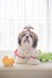 Het leuke puppy van shihtzu zit op bank Stock Afbeelding