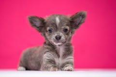 Het leuke roodharige Chihuahua-puppy zit op een karmozijnrode achtergrond royalty-vrije stock afbeeldingen