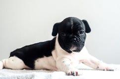 Het leuke schot van de hondstudio royalty-vrije stock foto
