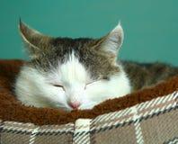 Het leuke Siberische kat rusten slaperig in zijn bed royalty-vrije stock foto