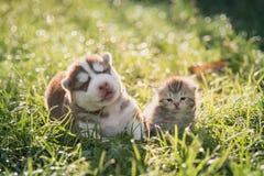 Het leuke Siberische schor puppy en gestreepte katkatje liggen Royalty-vrije Stock Fotografie
