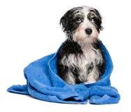Het leuke slimme havanese puppy na bad zit op een blauwe handdoek Stock Foto's