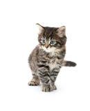 Het leuke tabby katje spelen op wit Stock Fotografie