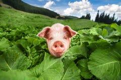 Het leuke varken weiden bij de zomerweide bij bergenweiland Royalty-vrije Stock Foto's