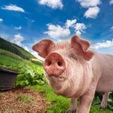 Het leuke varken weiden bij de zomerweide bij bergenweiland royalty-vrije stock fotografie