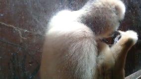 Het leuke wilde aap spelen met zijn zelf binnen een kooi stock videobeelden