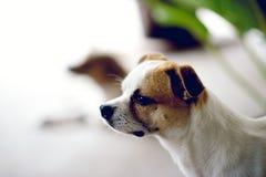 Het leuke wit van de huisdierenhond wacht op de werkgever om huis te terugkeren Ik zit in Fr royalty-vrije stock foto