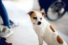 Het leuke wit van de huisdierenhond wacht op de werkgever om huis te terugkeren Ik zit in Fr stock foto