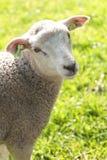 Het leuke wolachtige lam kijken Stock Afbeelding