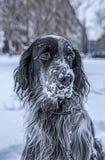 Het leuke zwart-witte Engelse Zetterhond spelen in sneeuw stock foto