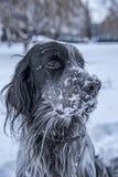 Het leuke zwart-witte Engelse Zetterhond spelen in sneeuw stock fotografie