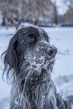 Het leuke zwart-witte Engelse Zetterhond spelen in sneeuw stock afbeeldingen