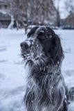 Het leuke zwart-witte Engelse Zetterhond spelen in sneeuw royalty-vrije stock afbeelding