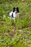 Het leuke zwart-witte straathond glimlachen stock afbeelding