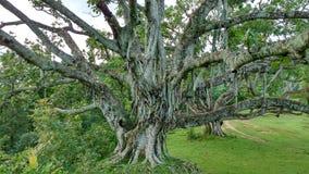 Het leven is als een banyan boom die veel stadia hebben Stock Fotografie