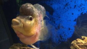 Het leven in aquarium 002 stock footage
