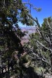 Het leven en dood van bomen in Grand Canyon stock afbeeldingen