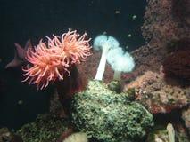 Het leven koraal Royalty-vrije Stock Afbeelding