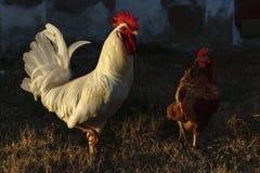 Het leven op het landbouwbedrijf met de kippen stock foto's