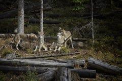 Het leven in het pak wolven royalty-vrije stock fotografie