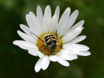 Het leven V van het insect Royalty-vrije Stock Fotografie