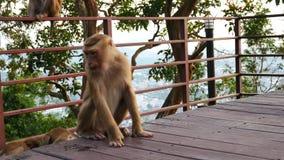 Het leven van aap leefde op de berg in het land Thailand Het wachten op voedsel van toeristen stock video