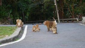 Het leven van aap leefde op de berg in het land Thailand Het wachten op voedsel van toeristen stock videobeelden