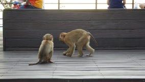 Het leven van aap leefde op de berg in het land Thailand Het wachten op voedsel van toeristen stock footage