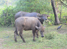 Het leven van Buffels Stock Foto's