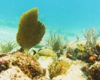 Het leven van de ertsader in Dawn Beach, St. Maarten Royalty-vrije Stock Afbeelding