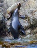 Het leven van de zeeleeuw royalty-vrije stock fotografie