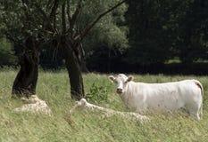 Het leven van een koe Stock Fotografie