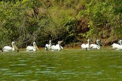 Het leven van het meervogels van Kerkini Stock Afbeelding