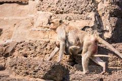 Het leven van lange staart grappige apen met archeologische plaatsen Lopburi Thailand stock foto