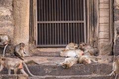 Het leven van lange staart grappige apen met archeologische plaatsen Lopburi Thailand royalty-vrije stock foto's