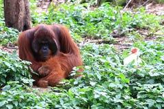 Het leven van orangoetans Stock Foto's